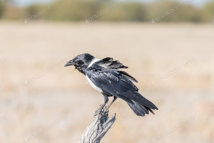 Pied crow, Corvus albus, on a dead tree branch