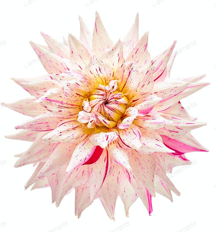 Dahlia Blume weiß, rosa gefärbt, Studio-Shooting