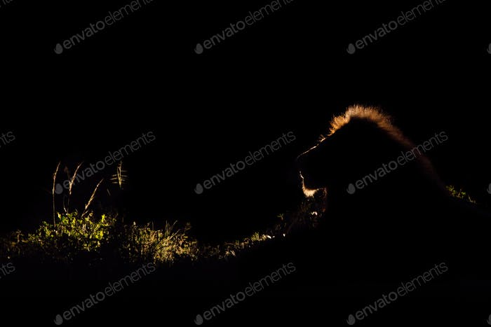 A lion, Panthera leo, backlit in the dark with a spotlight, lit up mane
