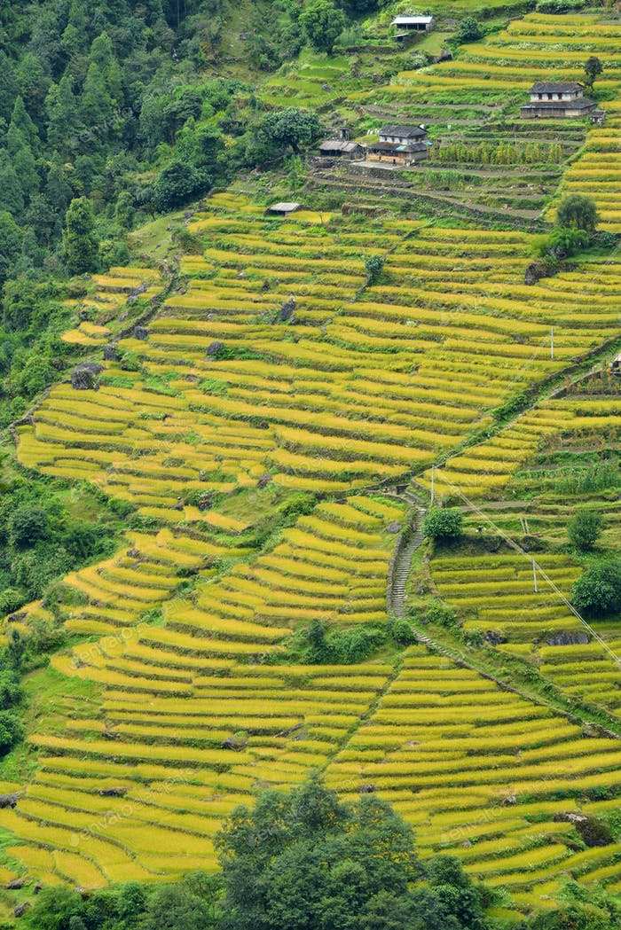 Paddy, rice field terraces in the Himalaya mountains, Nepal