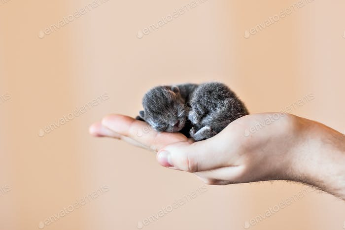 Blue british kitten in men's hand