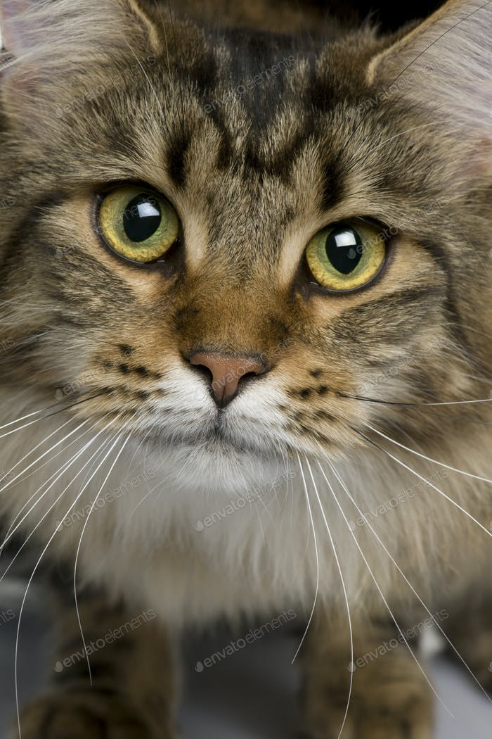 Close-up of Maine coon, 1 year old