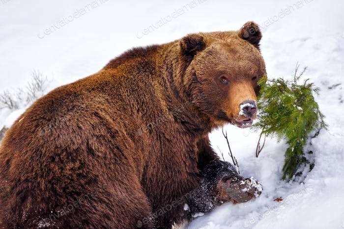 Wild brown bear on the snow