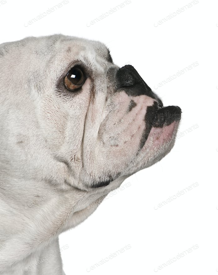 Side view of English bulldog, 4 months old, in front of white background