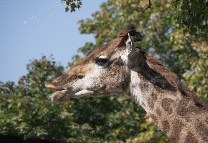 Hermosa jirafa se sostiene alto sobre el fondo azul cielo.