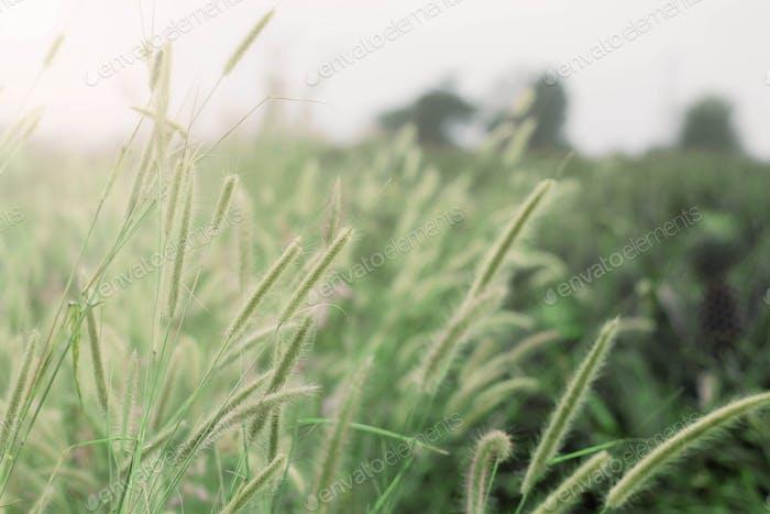 Grass of nature