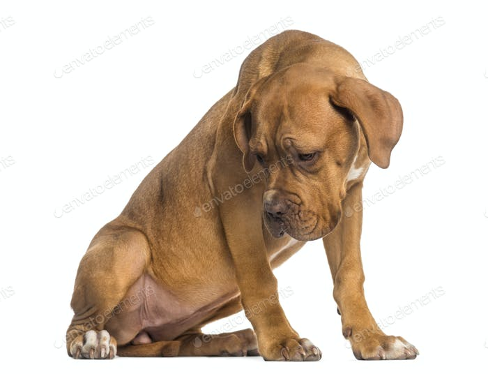Dogue de Bordeaux puppy looking down (5  months old)