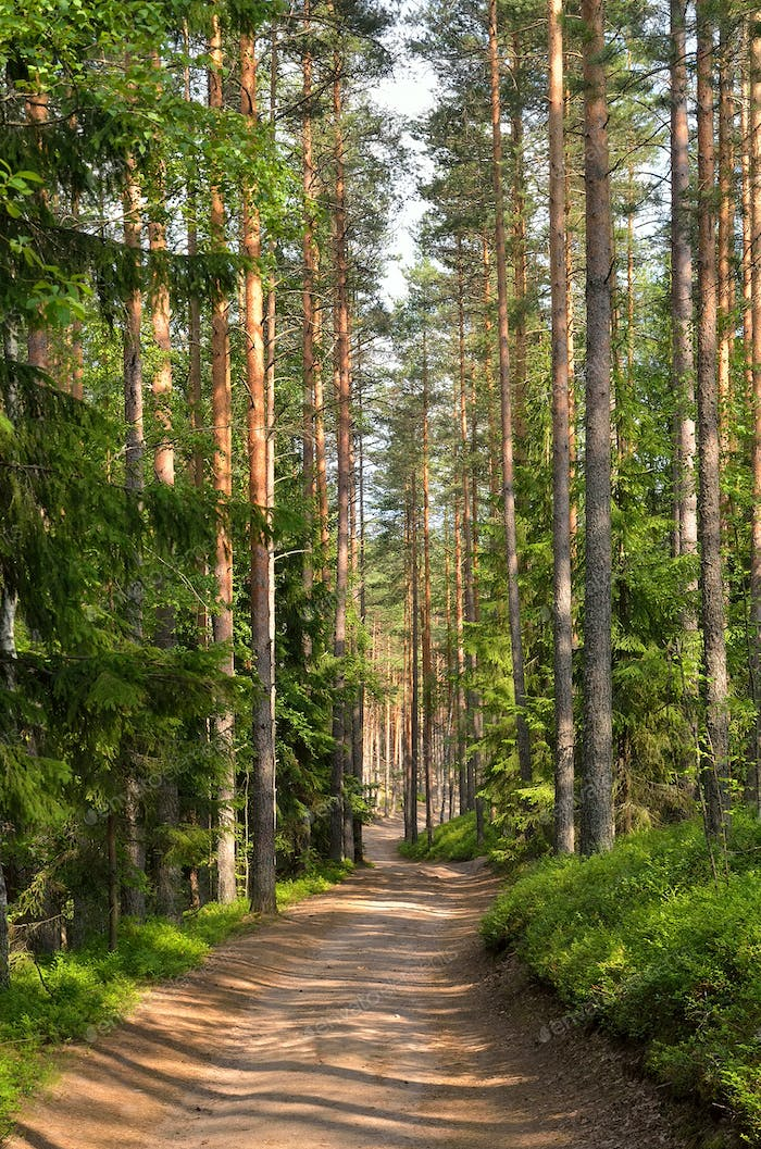 Path through pine trees in forest