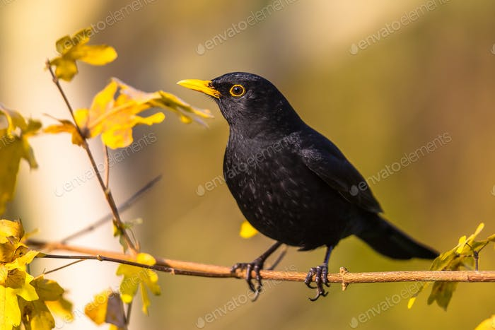 Male blackbird on branch autumn leaves