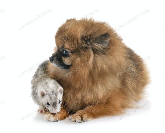 grau Frettchen und Hund