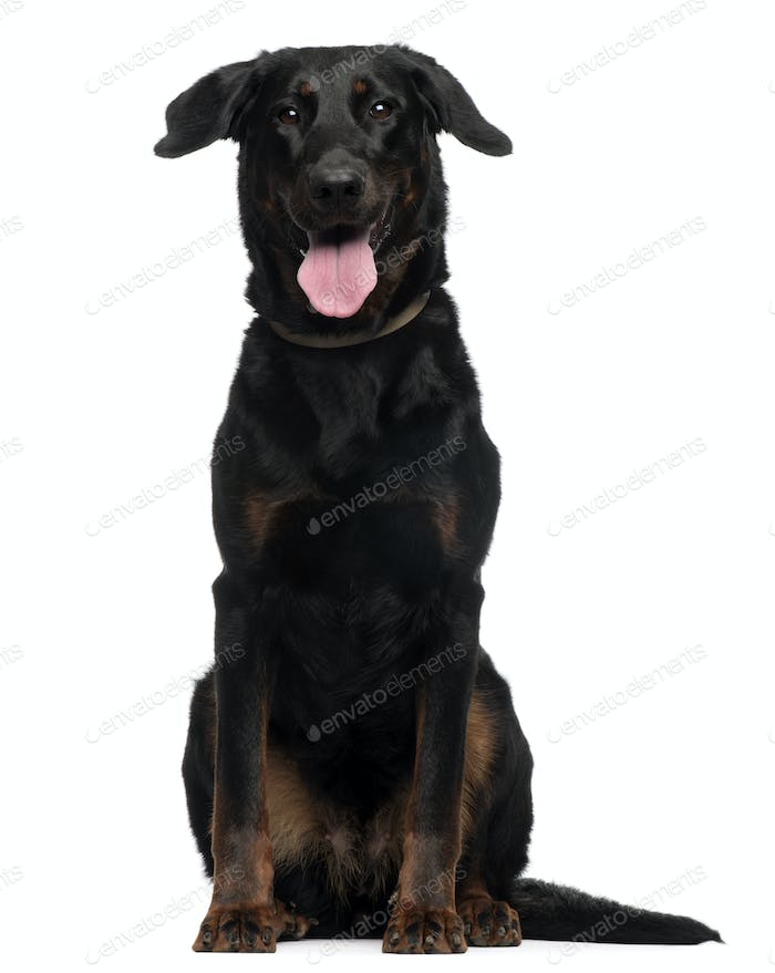Beauceron, 2 Years old, sitting in front of white background