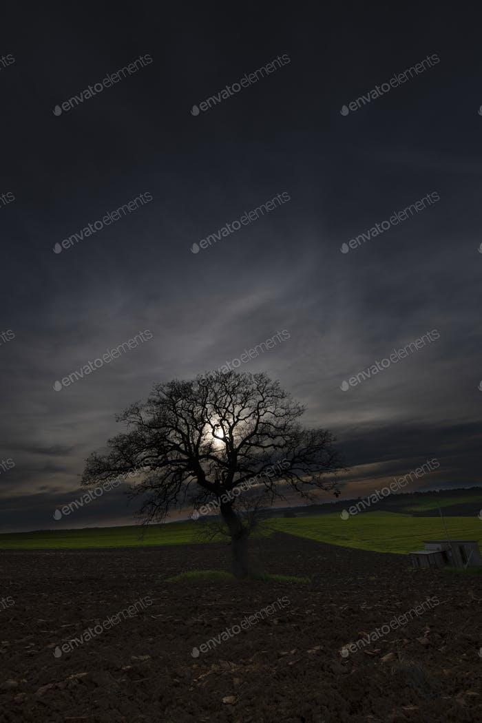 Lonely tree on a field at golden hour