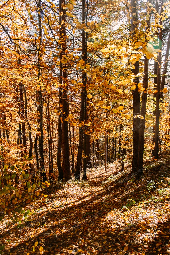 Vibrant orange autumn forest vertical natural background. Yellow leaves and trees in the autumn.