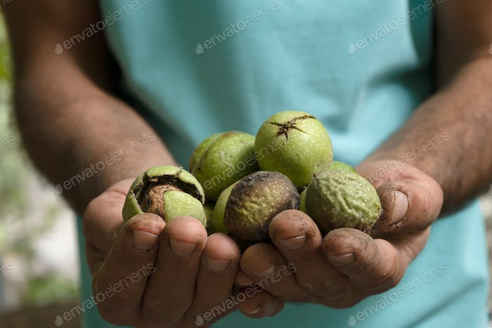 Uncleaned green walnuts in the hands of a farmer closeup