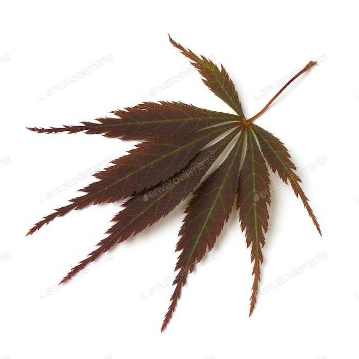 Single fresh brown Japanese maple leaf