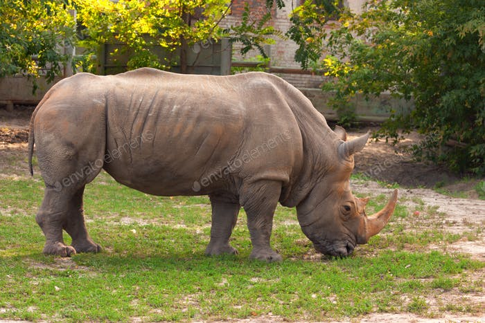 White rhino in the zoo