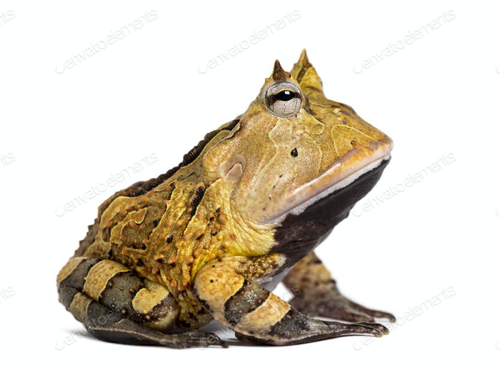 Side view of an Argentine Horned Frog, Ceratophrys ornata, isolated on white
