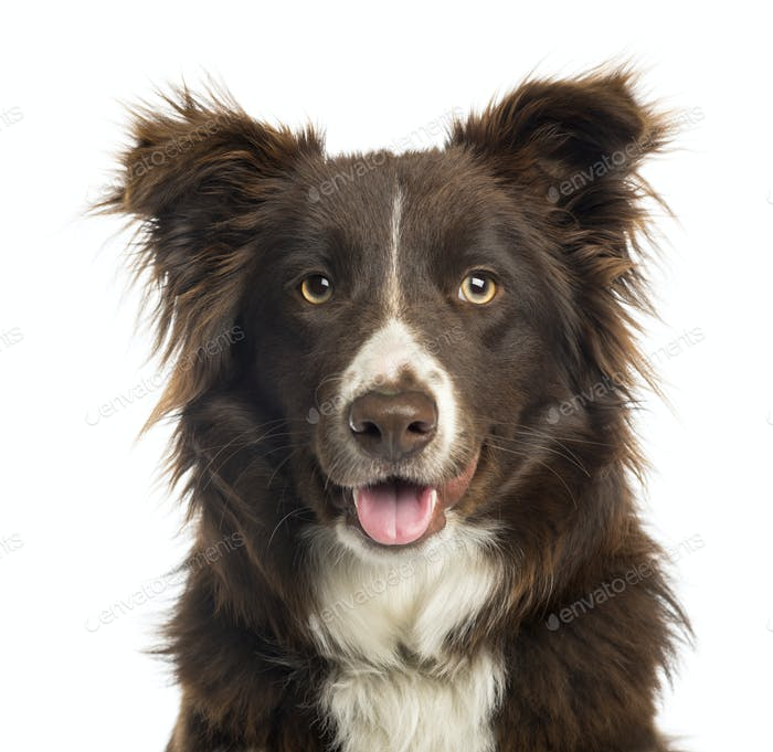 Close-up of a Border Collie panting, 9 months old, isolated on white