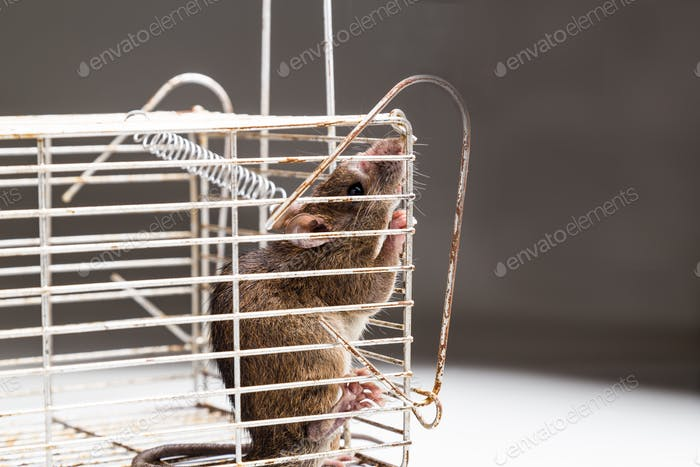 Close up of anxious rat trapped in metal cage