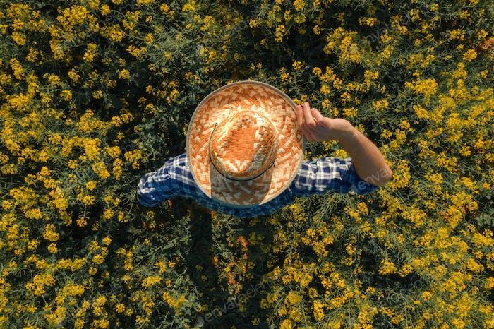Agronomist im blühenden Ölsaaten-Rapsfeld, Luftaufnahme