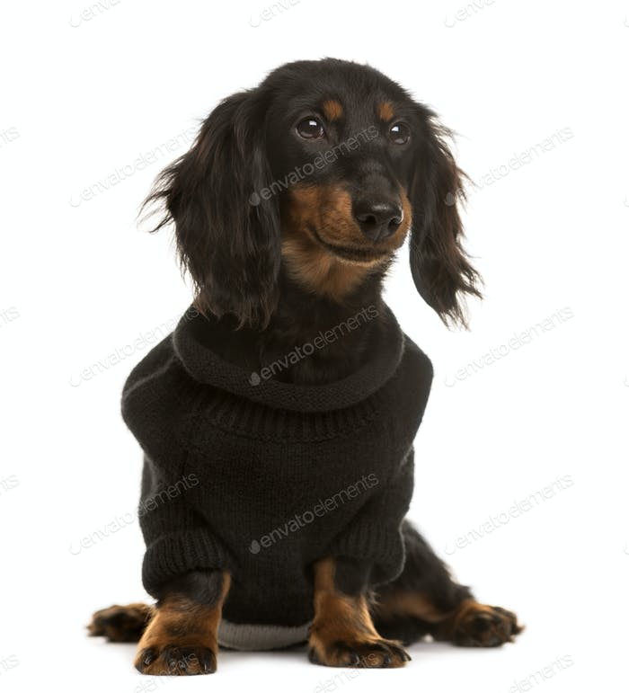 Dachshund pupy dressed looking away, isolated on white