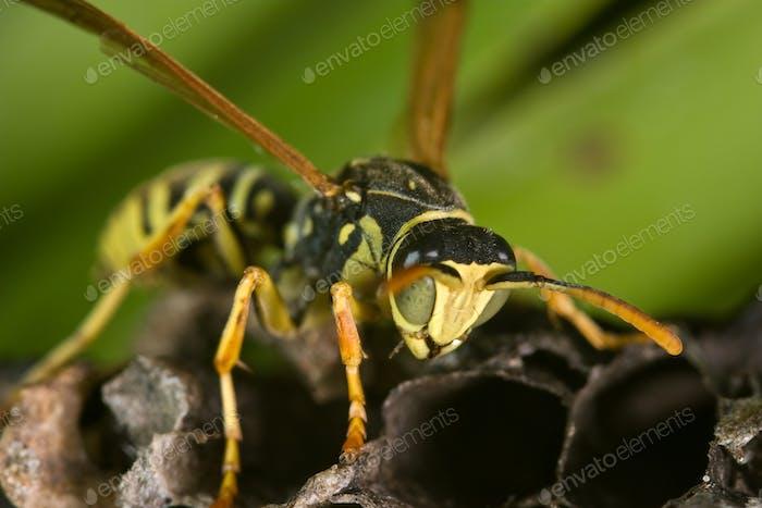 Wasp Polistes bischoffi ( Weyrauch, 1937 )
