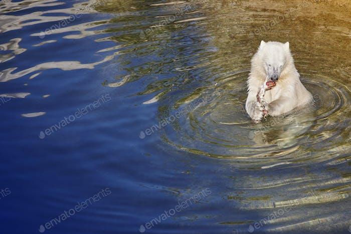 Polar bear cub eating on the water. Wildlife animal background. Horizontal