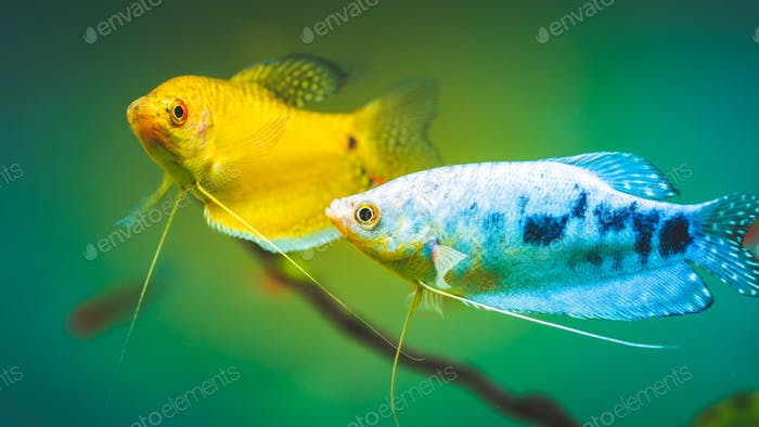 Aquarium Fish Golden gourami with opaline gourami Trichogaster trichopterus