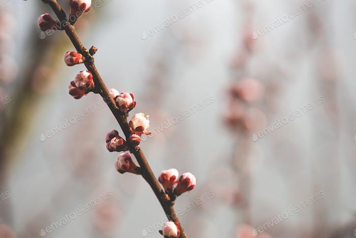 Young Spring Unblown Buds Of Prunus armeniaca meaning Armenian plum Growing In Branch Of Tree