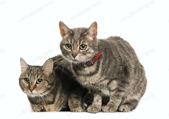 Two Mixed-breed Cats wearing a collar, cut out