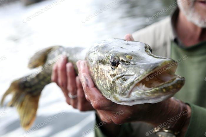 Ein Angler hält einen großen Hecht Fisch mit einem breiten Mund, einem Fang.