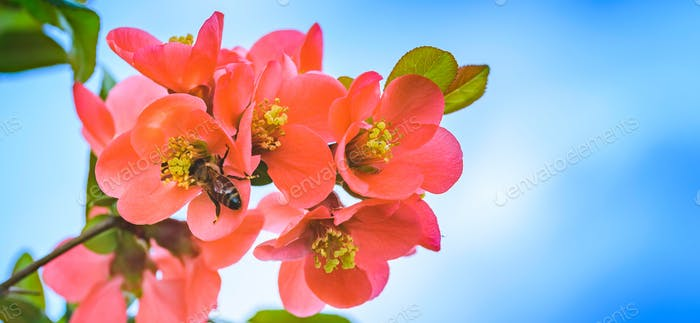 Honey Bee collecting pollen from red flowers of Japanese quince in spring
