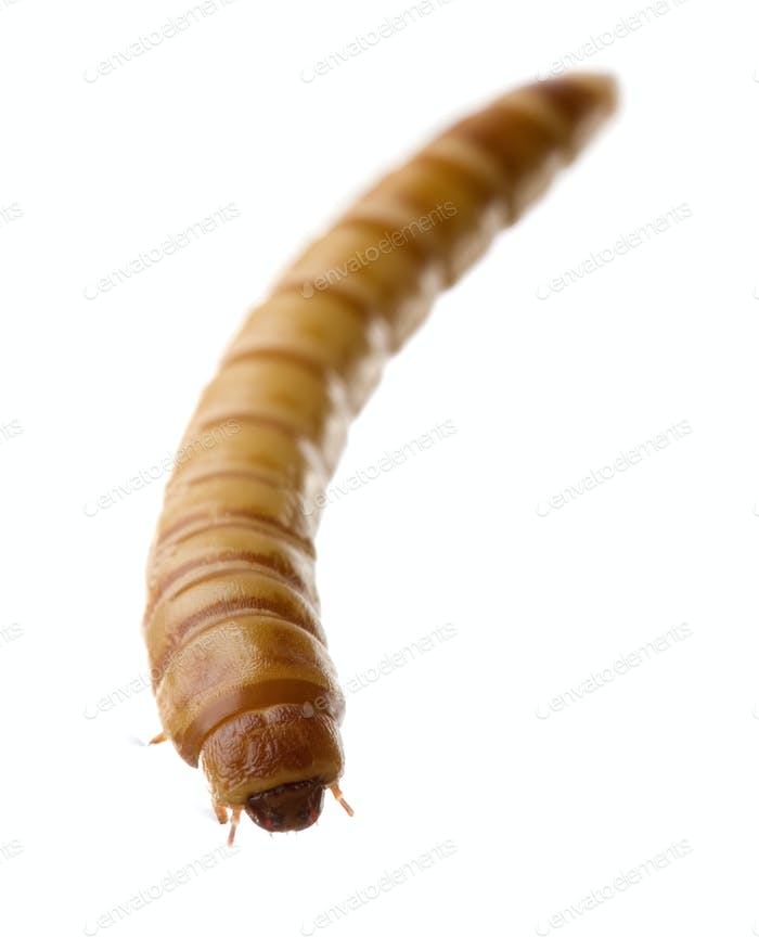 Larva of Mealworm - Tenebrio molitor