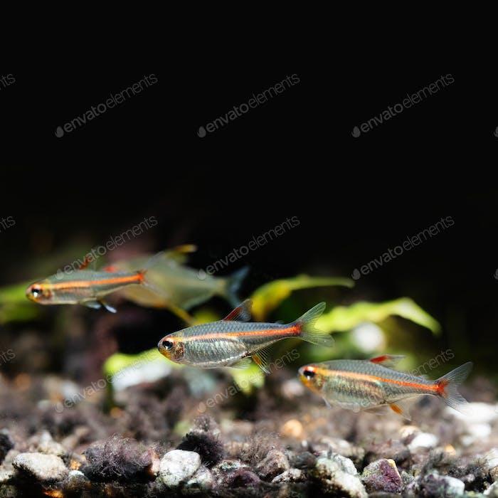 Zierfische Glowlight Tetra