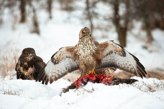 Two common buzzards with dead prey on the snowy forest clearing in winter