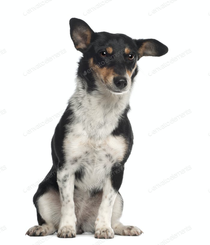 Portrait of crossbreed mixed with a Jack Russell Terrier, 10 months old