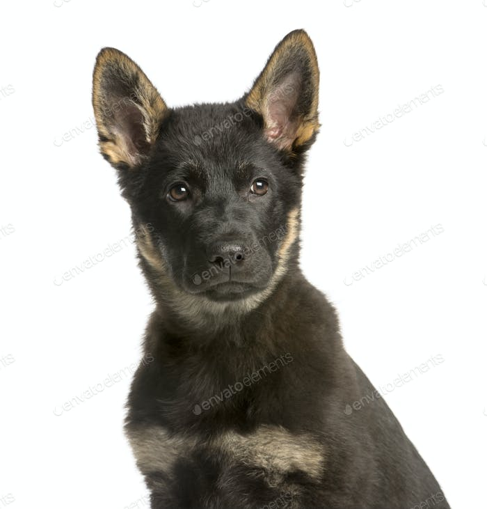 Close-up of a young Belgian Shepherd looking away , 10 months old, isolated on white