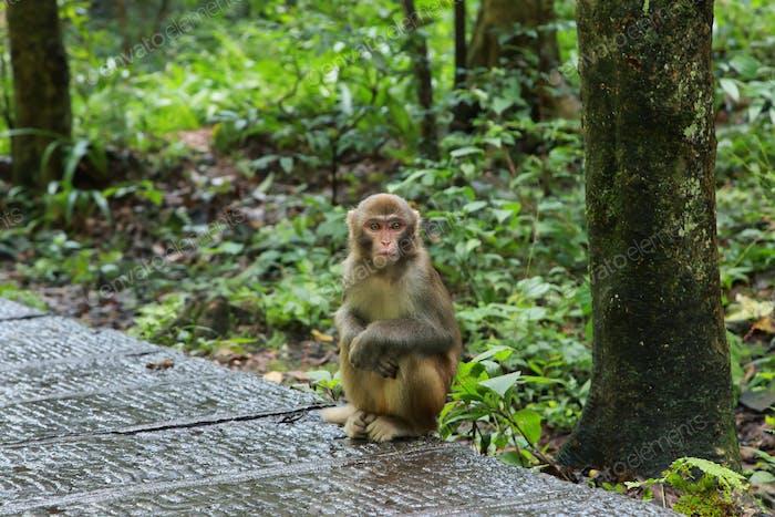 Young macaque in Zhangjiajie national park,