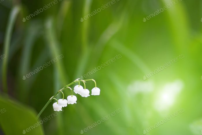 White lily of the valley flower on a green background. beautiful green natural background