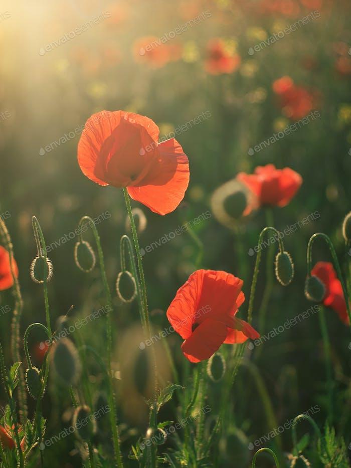 Red poppy flower portrait in meadow.