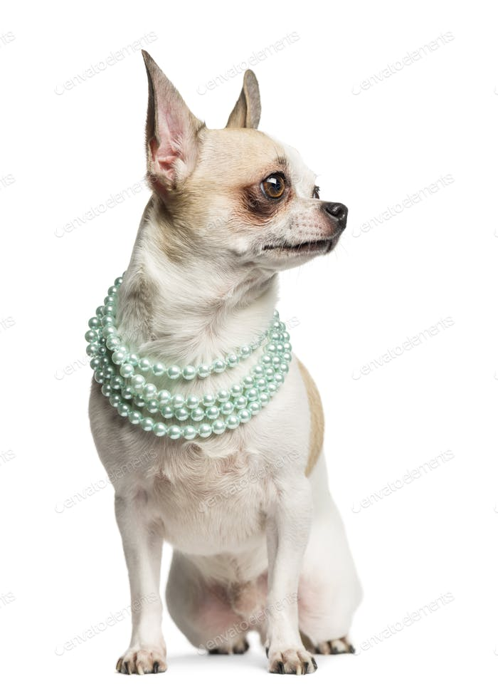 Chihuahua (2 years old) sitting, looking right and wearing a pearl necklace, isolated on white