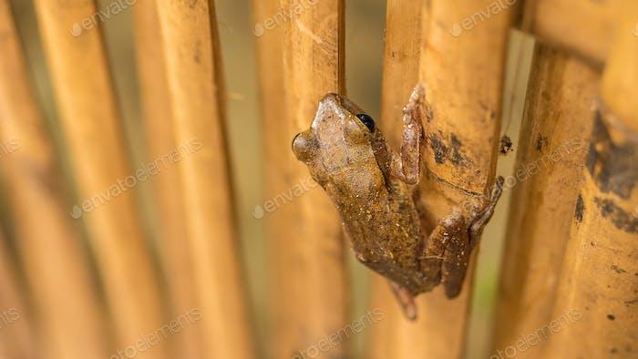 Nahaufnahme von schönen Frosch auf trockenem Bambusstab. Top Kurzperspektive. Koh Tao, Thailand
