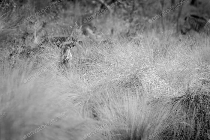 Waterbuck starring from behind the high grass.