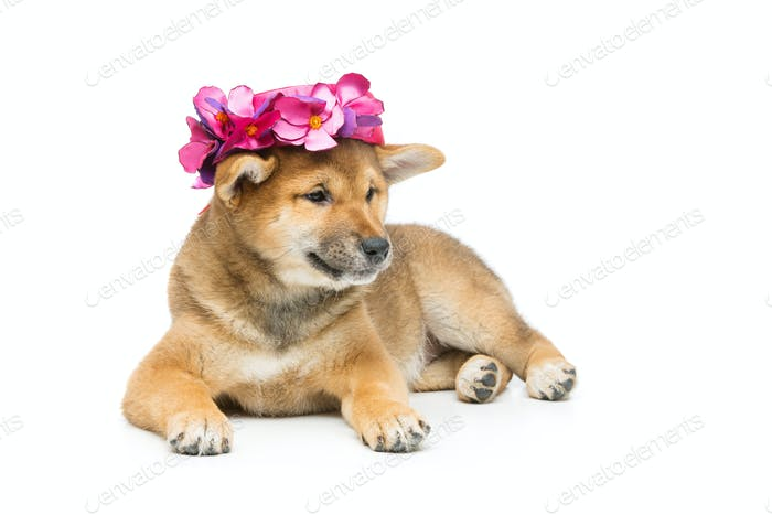 Beautiful shiba inu puppy in pink hat
