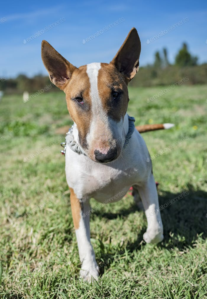 bull terrier in obedience