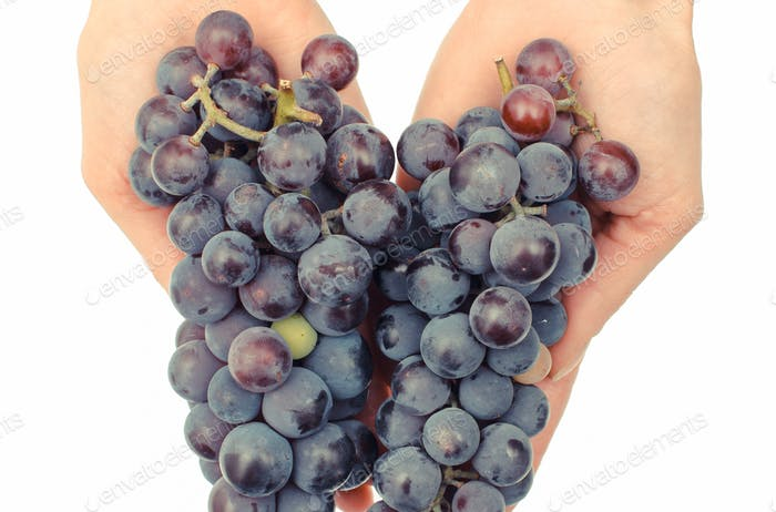 Hand with purple ripe grapes, healthy nutrition