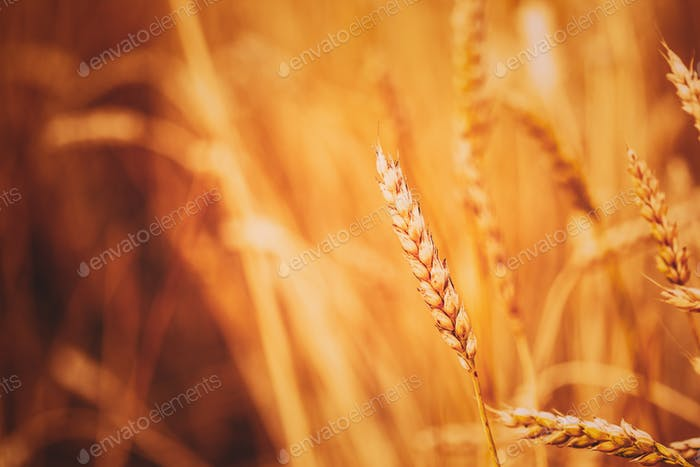 Gelbe Weizenohren