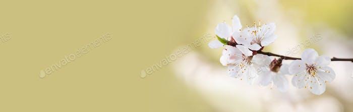 Blühende Sakura Zweig, zarte weiße Blütenblätter Nahaufnahme Foto.