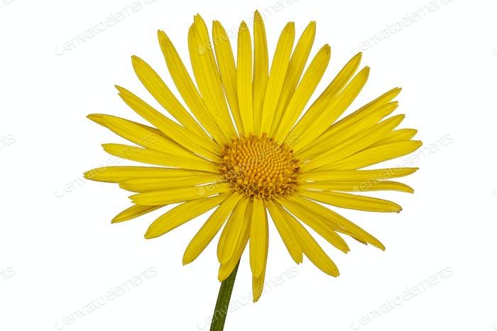 Gelbe Blume auf weißem Hintergrund