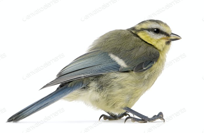 Young Blue Tit, Cyanistes caeruleus, in front of white background